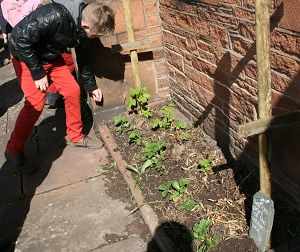 Sowing nasturtiums at the United Reformed Church Penrith