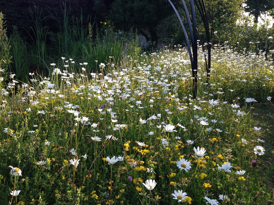 Oxeye daisies in Maureen's lawn