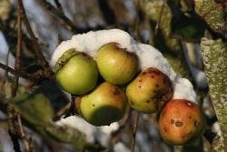 Winter is a good time to plant apple trees